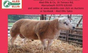 8th Multi Breed Ram Sale